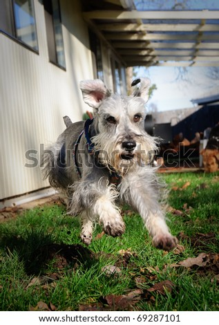 Fast  floppy eared gray miniature schnauzer dog springs into the air  running outdoors