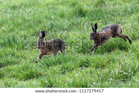 Fast running European brown Hares (Lepus europaeus), female chased by a male. #1117279457