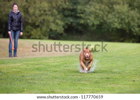 Fast running retriever dog, splashing through a puddle, to catch a yellow tennis ball, on a field with green grass at the waterfront #117770659
