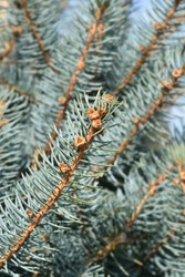 Fat Albert Colorado blue spruce - Latin name - Picea pungens Fat Albert