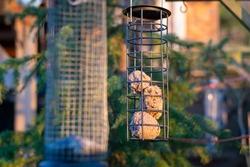 Fat balls in hanging bird feeder in front of pine tree in evening sunshine