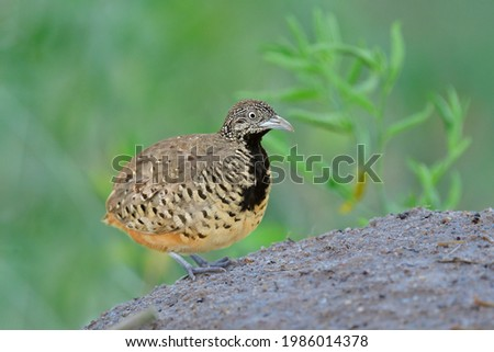 Fat brown camouflage brown bird with black chest steping on sand dunes in its territory when alerting to male calling, female Barred Buttonquail (Turnix suscitator) Photo stock ©