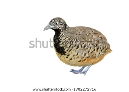 fat camouflage brown with black chest and camouflage feathers details from head to toes isolated on white background, female Barred buttonquail or Common bustard-quail (Turnix suscitator) Photo stock ©