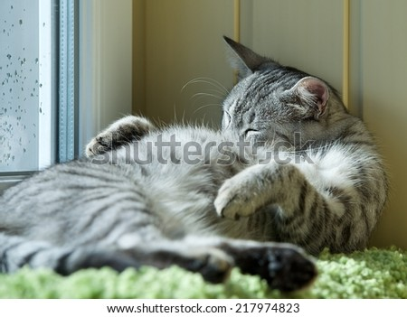 Fat cat sleeping on day time in blur background, fat happy cat, happy cat, car resting on day time, fat cat, siesta time, domestic animal, domestic cat, grey cat