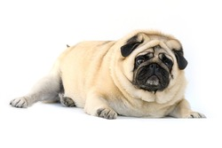 fat dog pug lying down on white background
