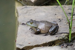 Fat frog sitting on flat rock at waters edge.