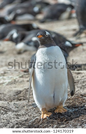 Fat Gentoo penguin.  Falkland Islands, South Atlantic Ocean, British Overseas Territory