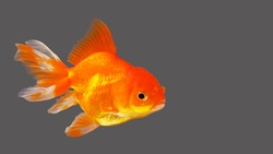 Fat Goldfish with gray background