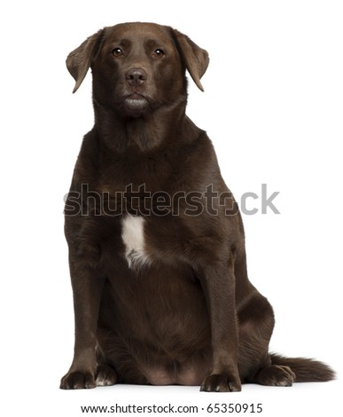Fat Labrador Retriever, 7 years old, sitting in front of white background
