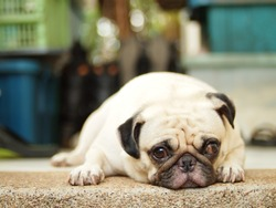 fat lovely pug dog laying on the floor  making sad face