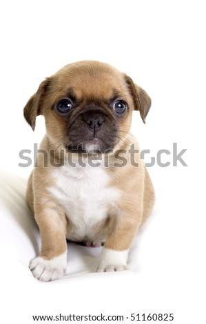 Fat Pug-Chihuahua puppy
