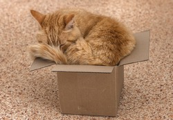 Fat red cat in a too small box