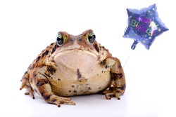 Fat toad holding a birthday balloon.  Isolated on white.