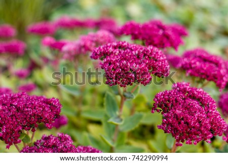 Fathen (Sedum) in the garden, autumn.Purple ornamental  garden plants, Sedum Stonecrop.