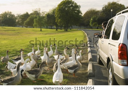 Father and son peeping out of car window to look at the flock of white geese