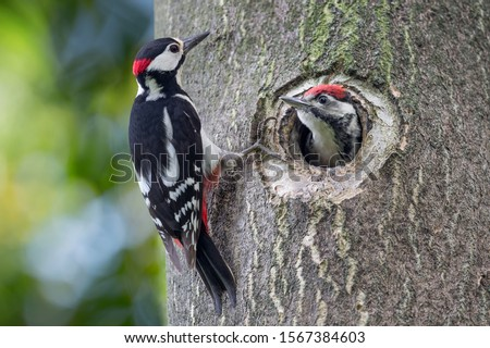 Father and son, portrait of woodpeckers (Dendrocopos major) Stock photo ©