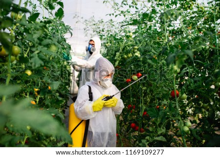 Father and son spraying organic pesticides on tomato plants in a greenhouse. #1169109277