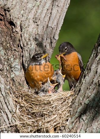 father robin feed his unfledged young a tasty treat of earthworms while mom watches - stock photo