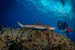 Fathers reef,Papua New Guinea - July 10th 2019- Scuba diver gets up close to white tip reef shark