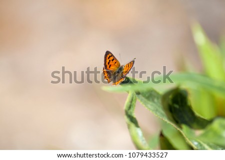 Fauna of Gran Canaria -  Lycaena phlaeas butterfly, common name small copper #1079433527