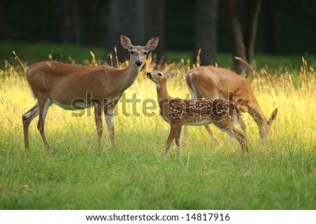 Fawn and two does in Valley Forge