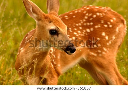 Fawn at Shenandoah National Park