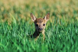 Fawn closeup. Little white-tailed fawn standing in a meadow .