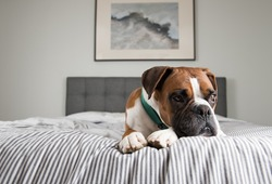 Fawn Colored Pure breed Boxer Dog Relaxing on Owners Bed
