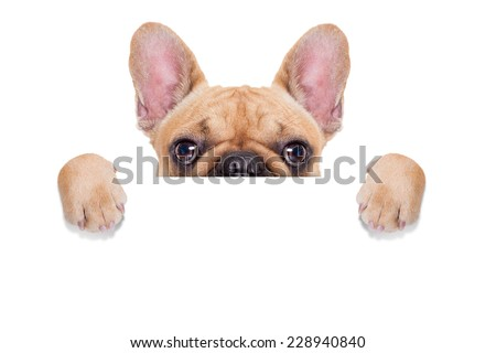 fawn french bulldog behind a white blank banner or placard, isolated on white background Сток-фото ©