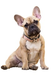 Fawn french bulldog puppy sitting white background isolate
