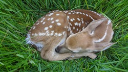 Fawn in tall grass in field