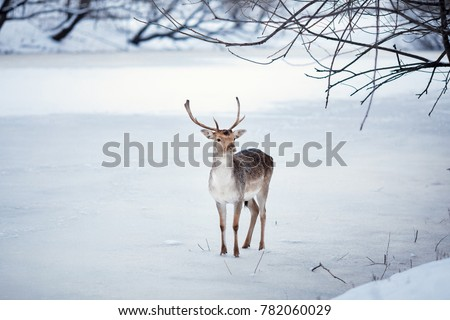 fawn in winter forest