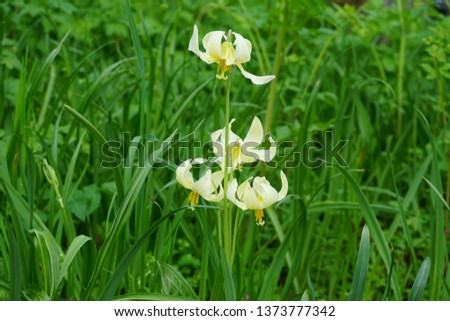 Fawn Lilies gently in the grass at Bush Pasture Park in Salem, Oregon. Picture taken April 18, 2019. Also known as Trout Lily, Dog Tooth Violet and Adder's Tongue, Erythronium oregonum.