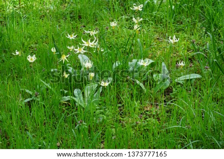 Fawn Lilies gently swaying in the breeze at Bush Pasture Park in Salem, Oregon. Picture taken April 18, 2019. Also known as Trout Lily, Dog Tooth Violet and Adder's Tongue, Erythronium oregonum.