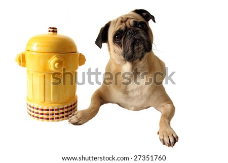 Fawn Pug laying beside a fire hydrant cookie jar.