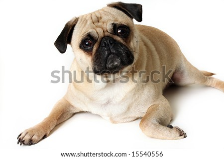 Fawn Pug laying down and isolated on white.