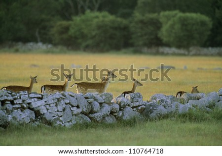 Fawns behind the a stone fence