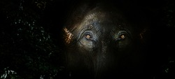 fear eyes of elephant in the jungle. Big mammal wildlife hiding from human (close up shot with Banner size)