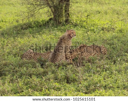 Feasting Cheetahs in the Serengeti #1025615101