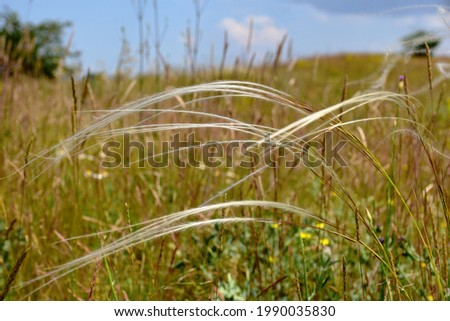 feather grass detail, a protected plant found in Hungary in rural areas. scientific name Stipa pennata. beautiful meadow closeup. selective focus. blured colorful soft background. Foto d'archivio ©
