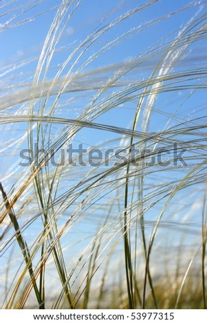 Feather grass in wind against a blue sky