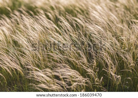 Feather Grass or Needle Grass, Nassella tenuissima, forms already at the slightest breath of wind filigree pattern. #186039470