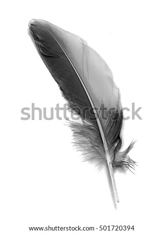 Feather isolated on the white background #501720394