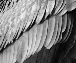Feather of a baby Andean condor Vultur gryphus is a South American bird in the New World vulture family Cathartidae and is the only member of the genus Vultur.