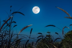 Feather pennisetum or mission grass grow on blue sky and bright full moon background. Outdoor at the nighttime. (Selective focus)