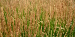 Feather reed grass (Calamagrostis x acutiflora) is a clumping ornamental grass with numerous cultivars.