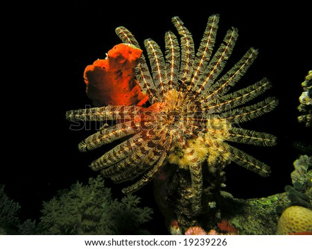Feather star fish