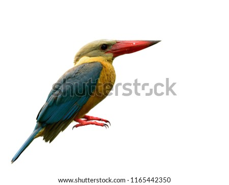 Feathers and details of exotic yellow to brown bird turqouise wing and big red beaks isolated on white background, Stork-billed kingfisher (Pelargopsis capensis)