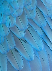Feathers background of the bird wing.  Texture of blue feathers parrot plumage.