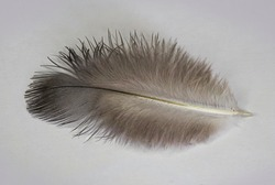 Feathers of a wild dove. Texture of feathers of a wild bird. Macro photo of pen texture. Gray abstract background